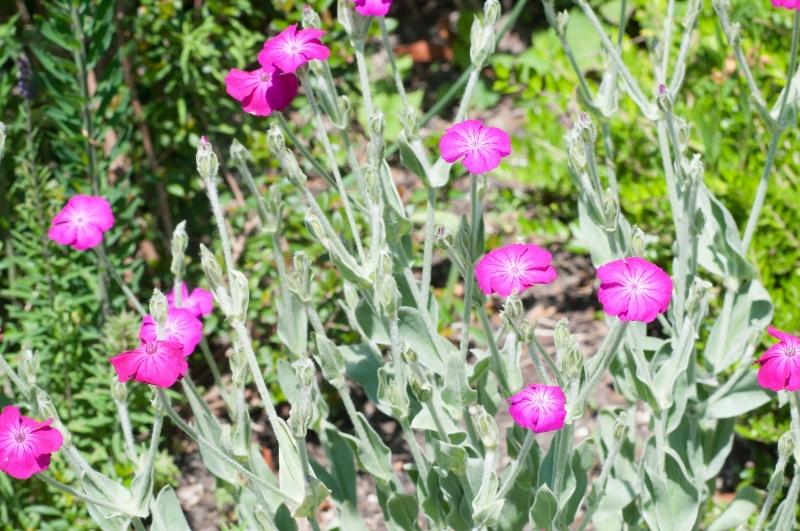 PInk flowers in Grange Gardens, Lewes