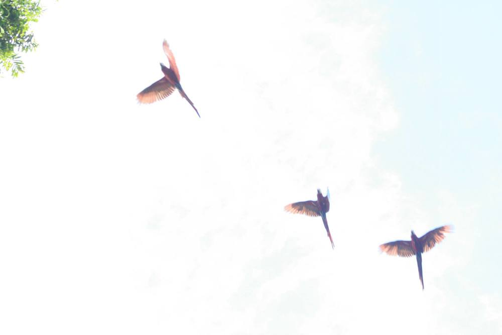 parrots in flight.jpg
