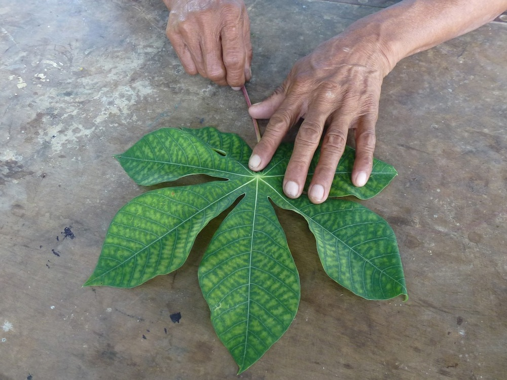Cassava Mother - Leaf.JPG