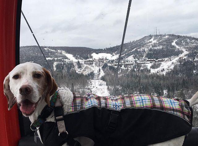 Just hanging on the mountain. #dog #dogs #dogsofinsta #lutsen #lutsenmountains #gondola #snow #coachbert #winter #traditions #thanksgiving  #winter #skilift #upnorth #northshore