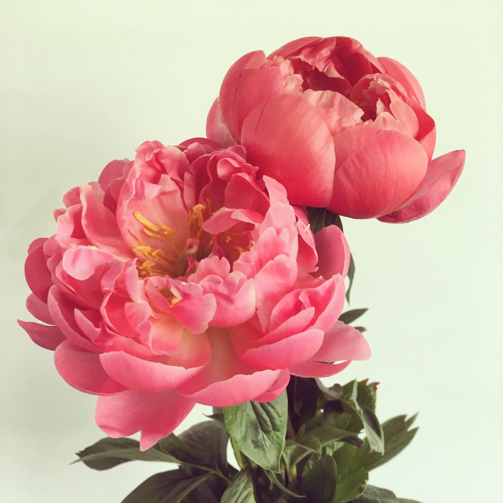 Lisa Claire Stewart Flower Peony Coral Pink