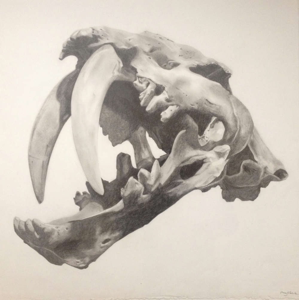 Sabertooth Cat.  Graphite on paper, 24 x 24.