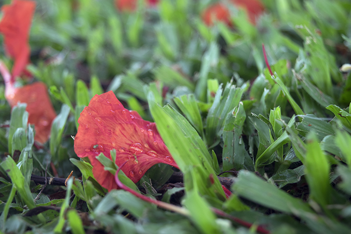 A close up of a fallen Red Poinciana petal.