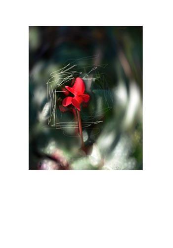 Red Cyclamen.jpg