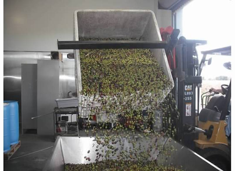 Transferring the olives from the fields.