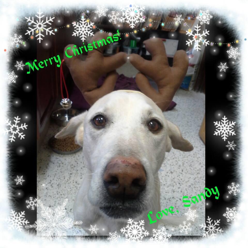 Sandy likes her reindeer antlers! Merry Christmas!