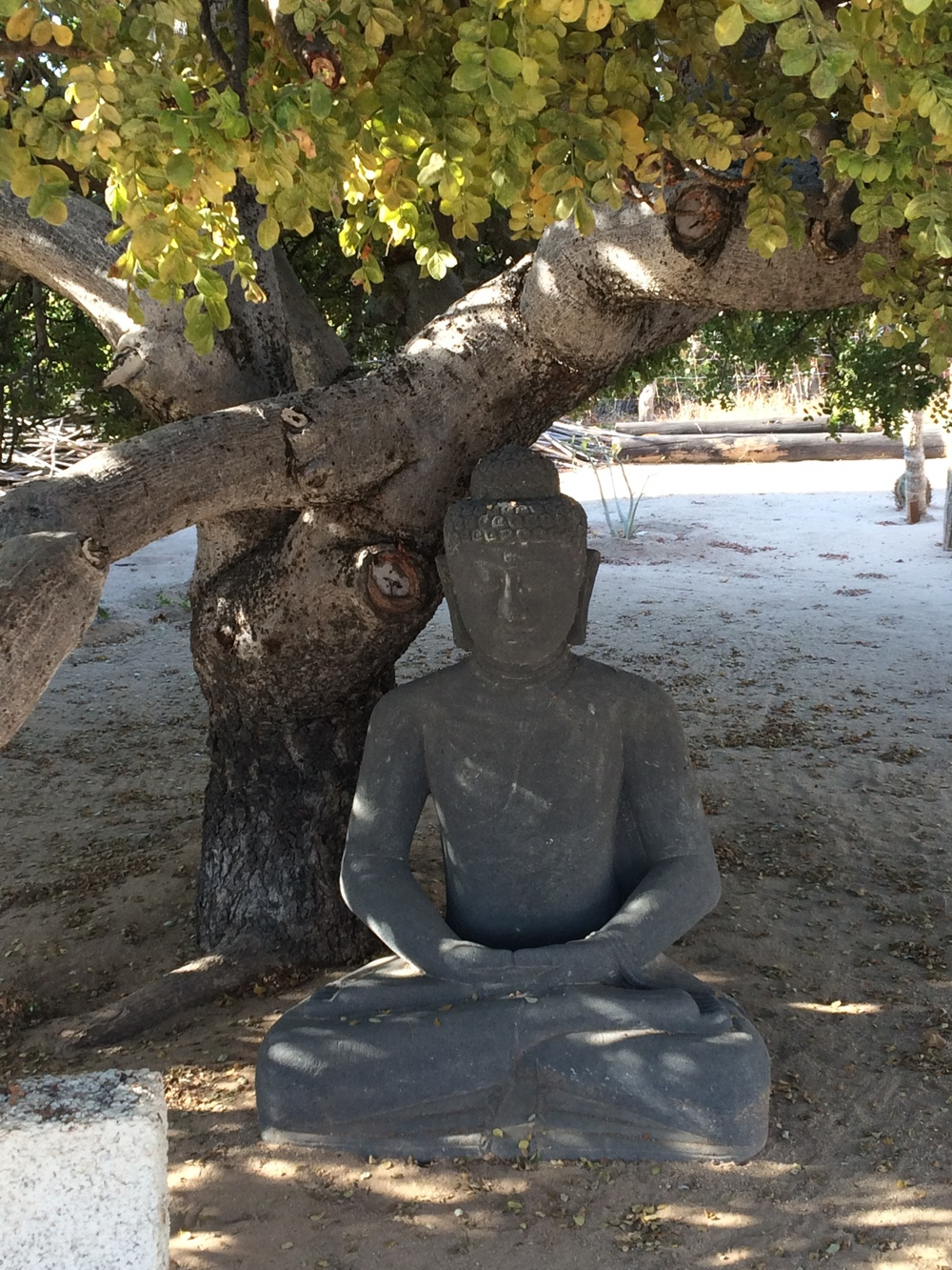 shaded buddha. Is this a bodhi tree? impeccable hip rotation.