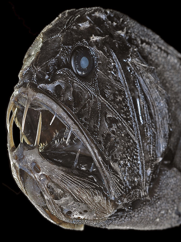 anoplogaster.jpg