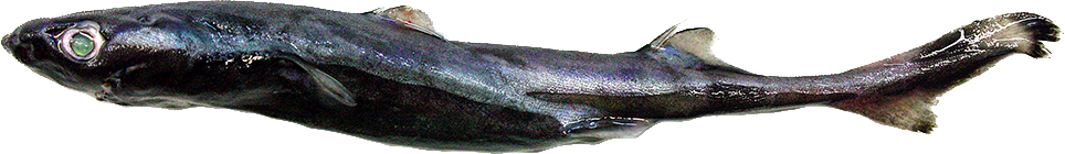 etmopterus.jpg