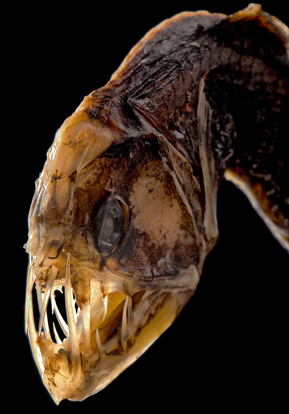 DragonfishSmall2.jpg