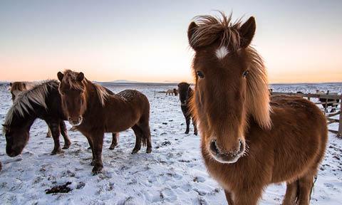 B. Viking Horses