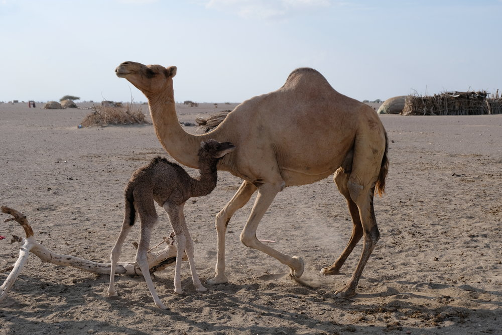 Mama camel and her new baby