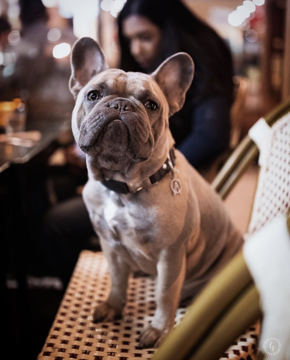 @greysonthedapperfrenchie