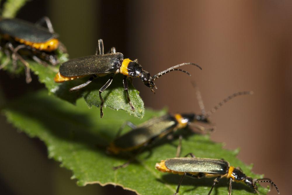 Breeding beetles