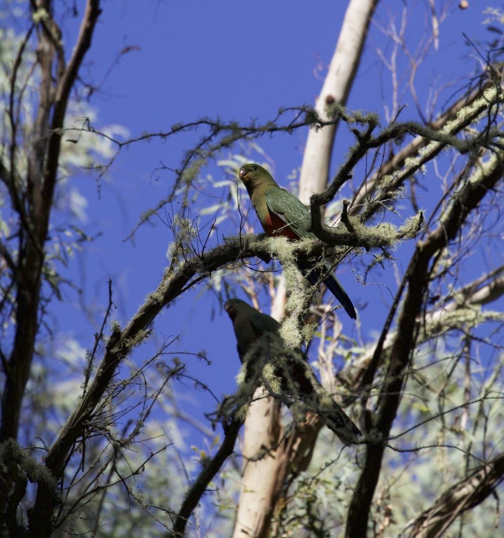 Australian King Parrots (female)