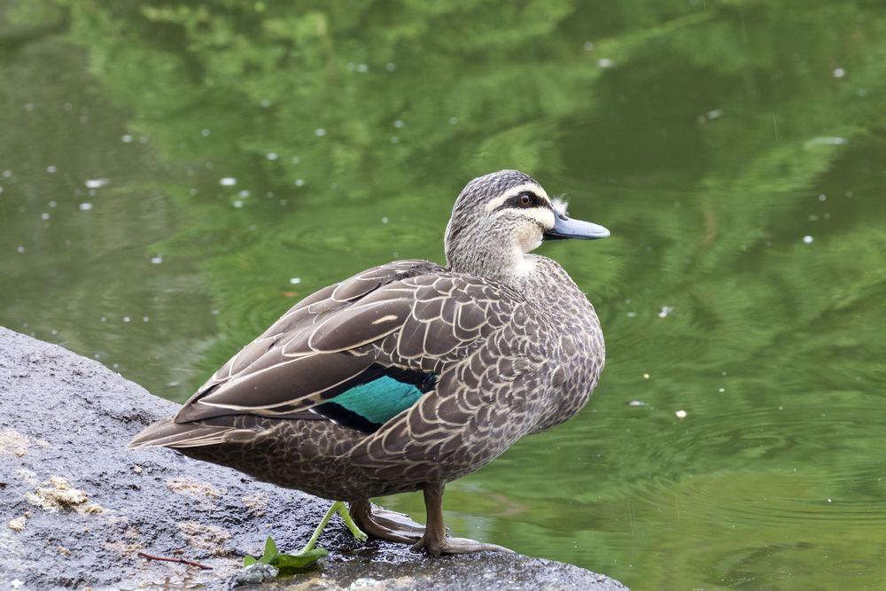 The speculum of Pacific Black Duck