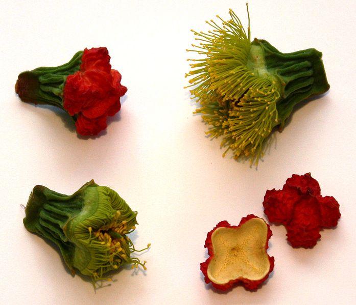 Flower buds and opercula (bud caps) of Eucalyptus erythrocorys.