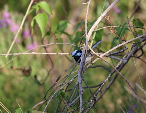 Why is the male Superb Fairy-wren more brightly coloured than the female?