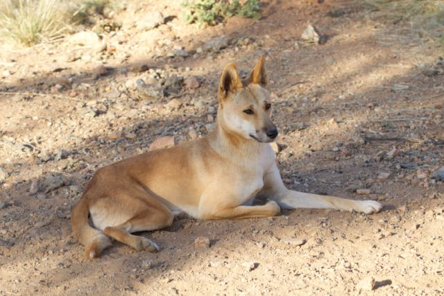 What are the similarities and differences between dogs and dingos?
