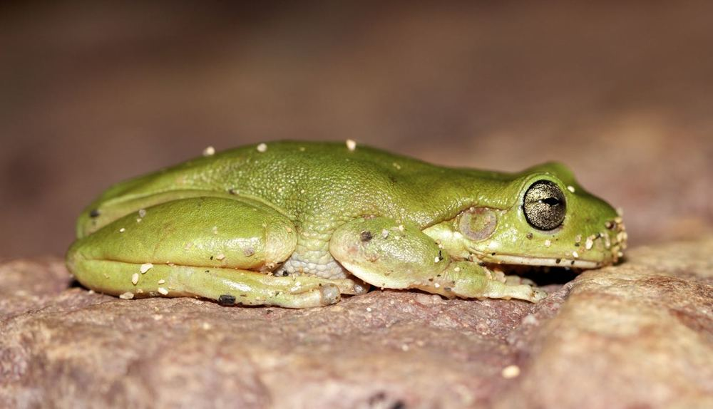 Centralian Tree Frog, Simpsons Gap, NT