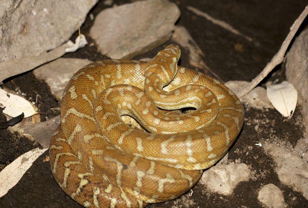 Centralian Carpet Python, Serpentine Gorge, NT
