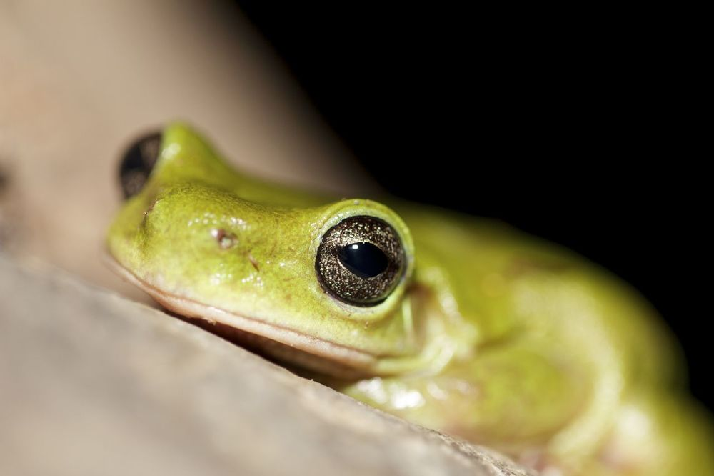 Centralian Tree Frog, Serpentine Gorge, NT