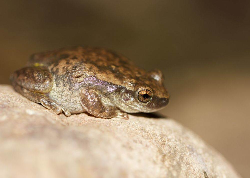 Little Red Tree Frog, Serpentine Gorge, NT