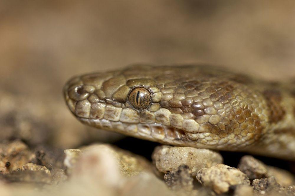 Stimson's Python, Serpentine Gorge, NT