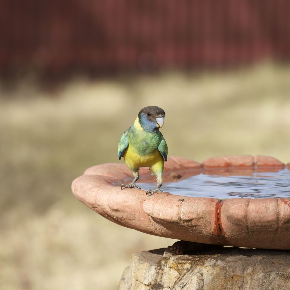 Port Lincoln Parrot (juvenile), Alice Springs, NT