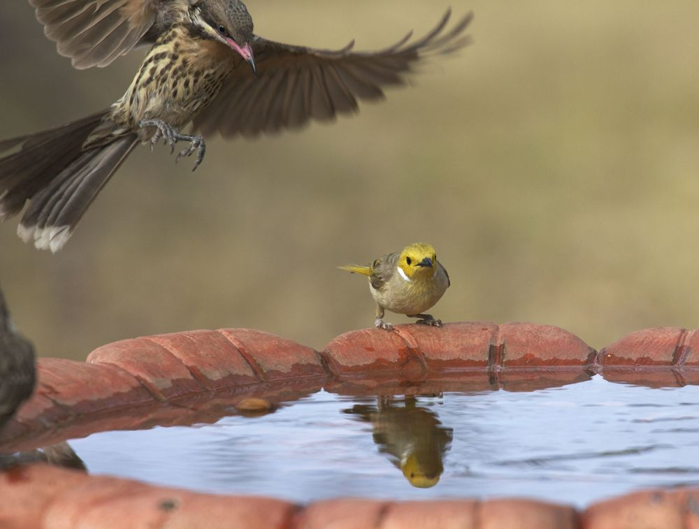Spiny-cheeked and White-plumed Honeyeaters at the bird bath, Alice Springs, NT