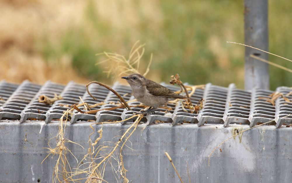 Horsfield's Bronze-cuckoo,Alice Springs, NT