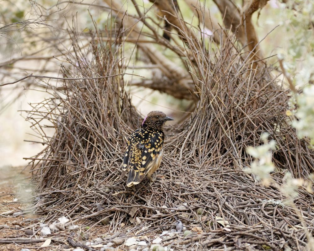 Western Bowerbird,Alice Springs, NT