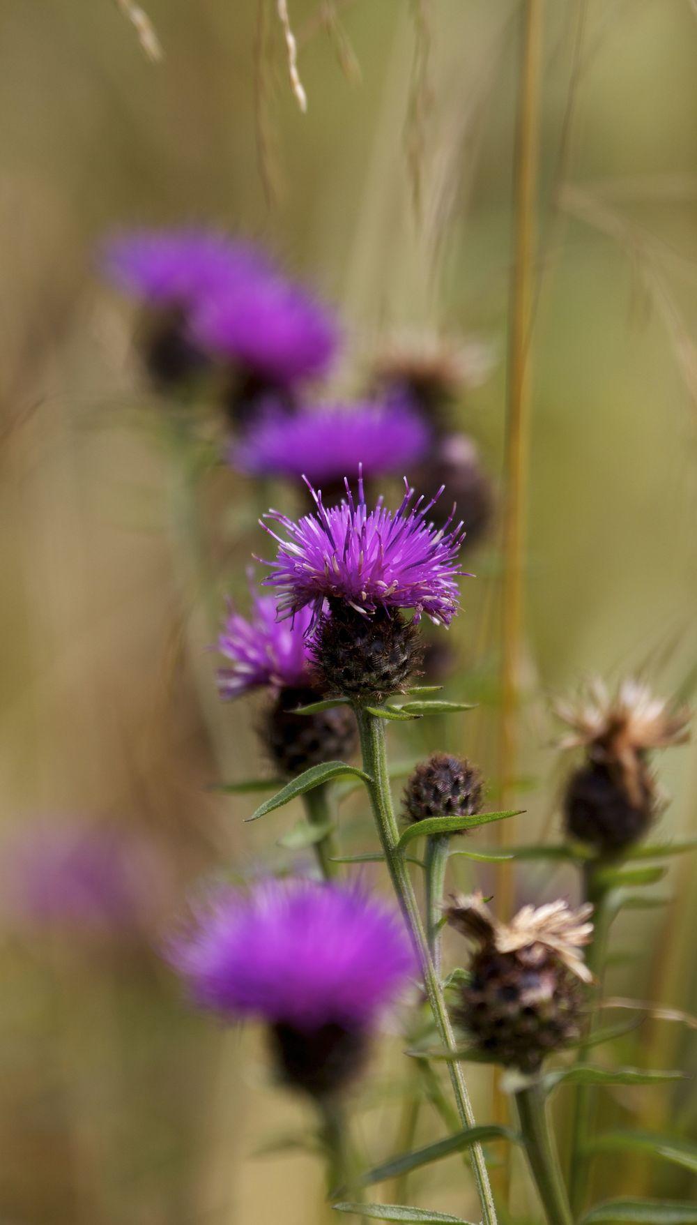 Thistles, Lochwhinnoch, Scotland