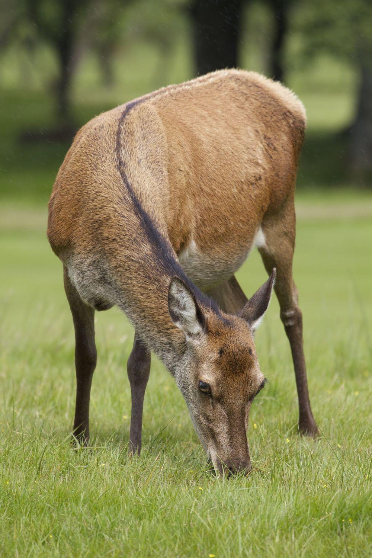 Red Deer,Isle of Arran, Scotland