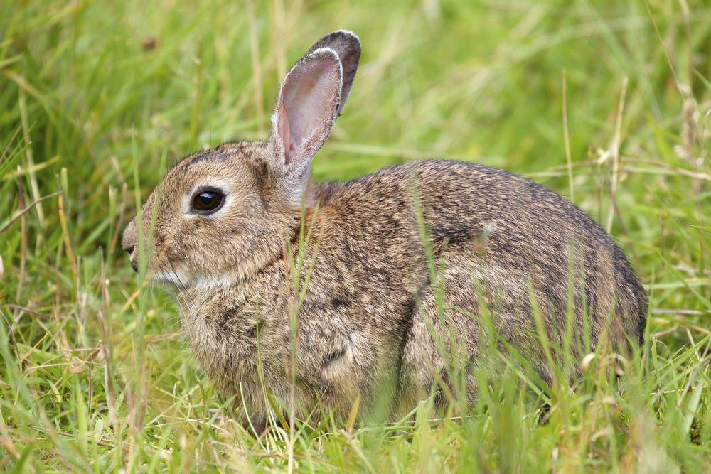 European Rabbit,Isle of Arran, Scotland