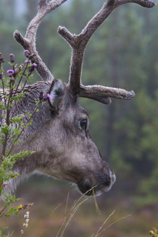 Reindeer, Cairngorms National Park, Scotland