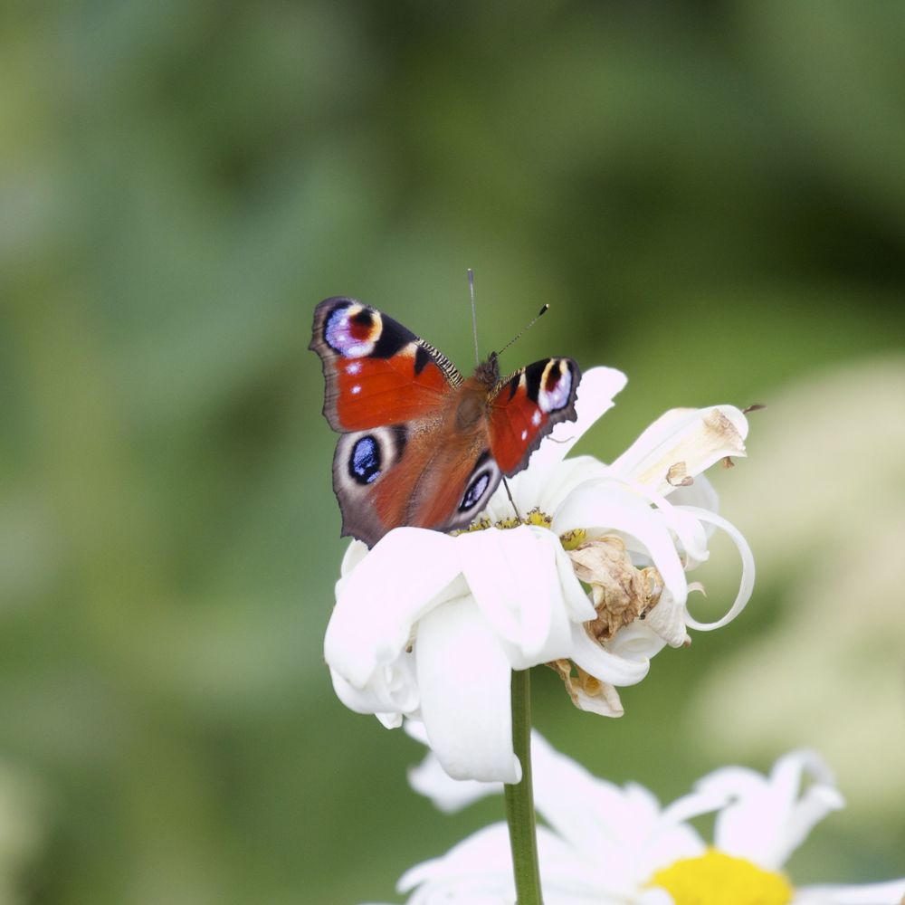 Peacock Butterfly,Lochwhinnoch, Scotland