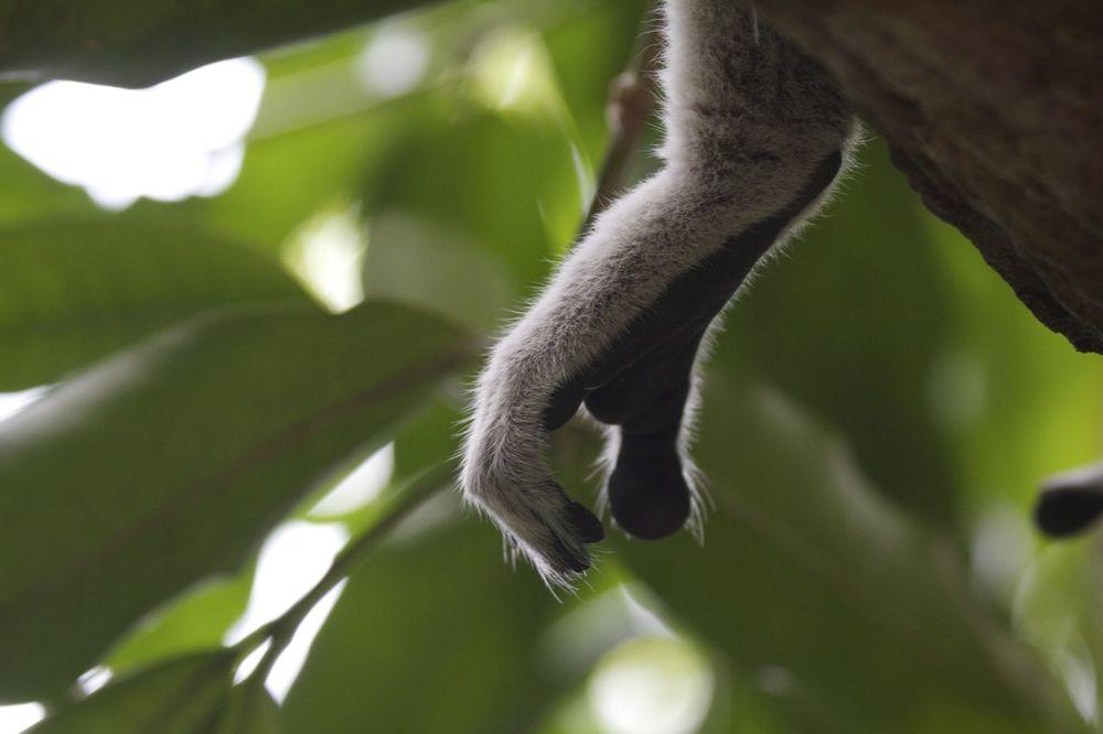 Ring-tailed Lemur, Singapore Zoo, Singapore
