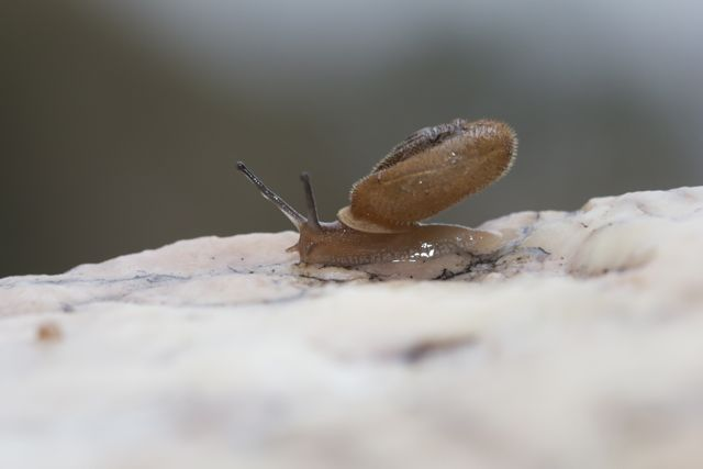 Runutjirbana Land Snail, Simpsons Gap, NT