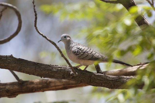 Peaceful Dove, Alice Springs, NT