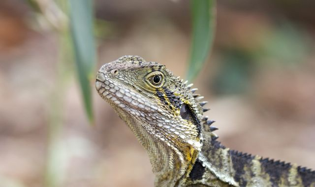 Australian Water Dragon, Brisbane, QLD