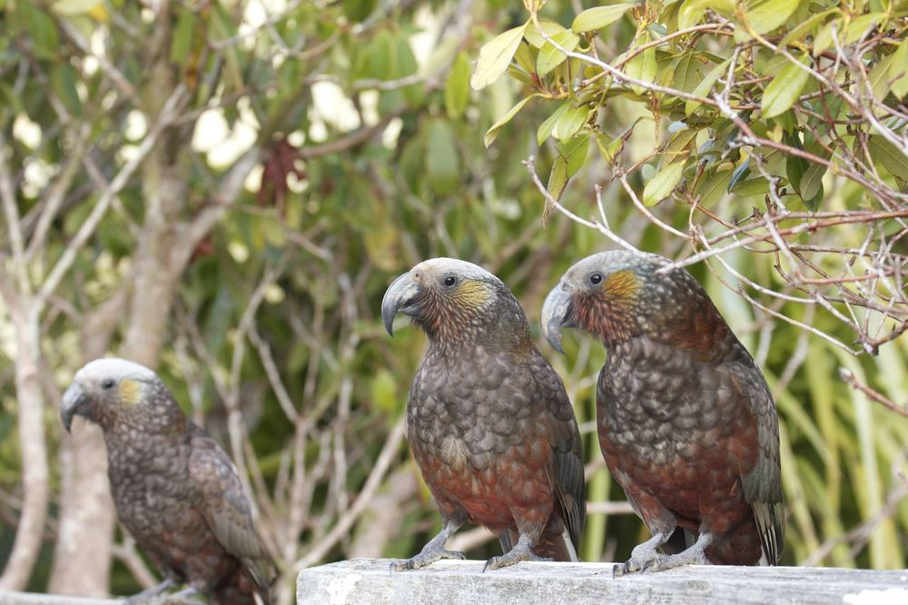 Kaka, Steward Island, New Zealand