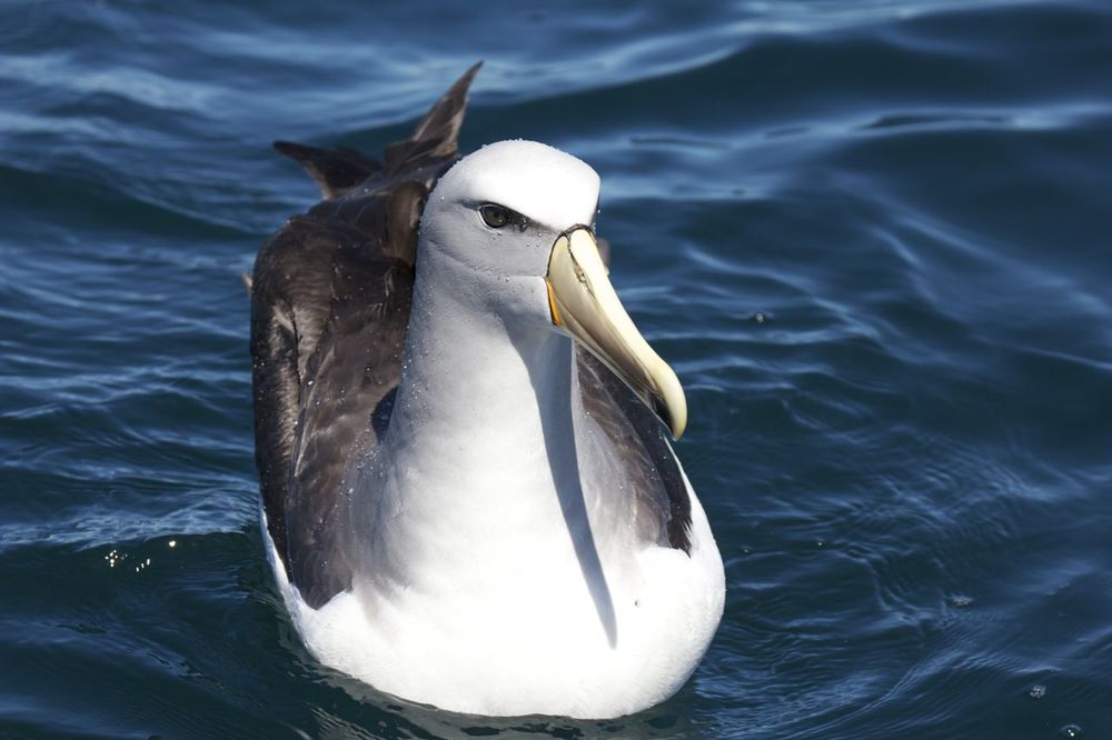White-capped Molymork ( Thalassarche steadi ),Stewart Island, New Zealand