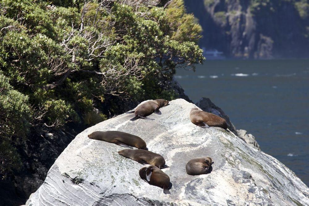 New Zealand Fur Seals, Milford Sound, New Zealand