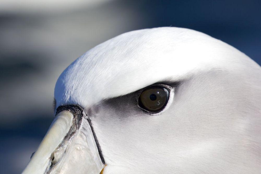 White-capped Molymork,Stewart Island, New Zealand