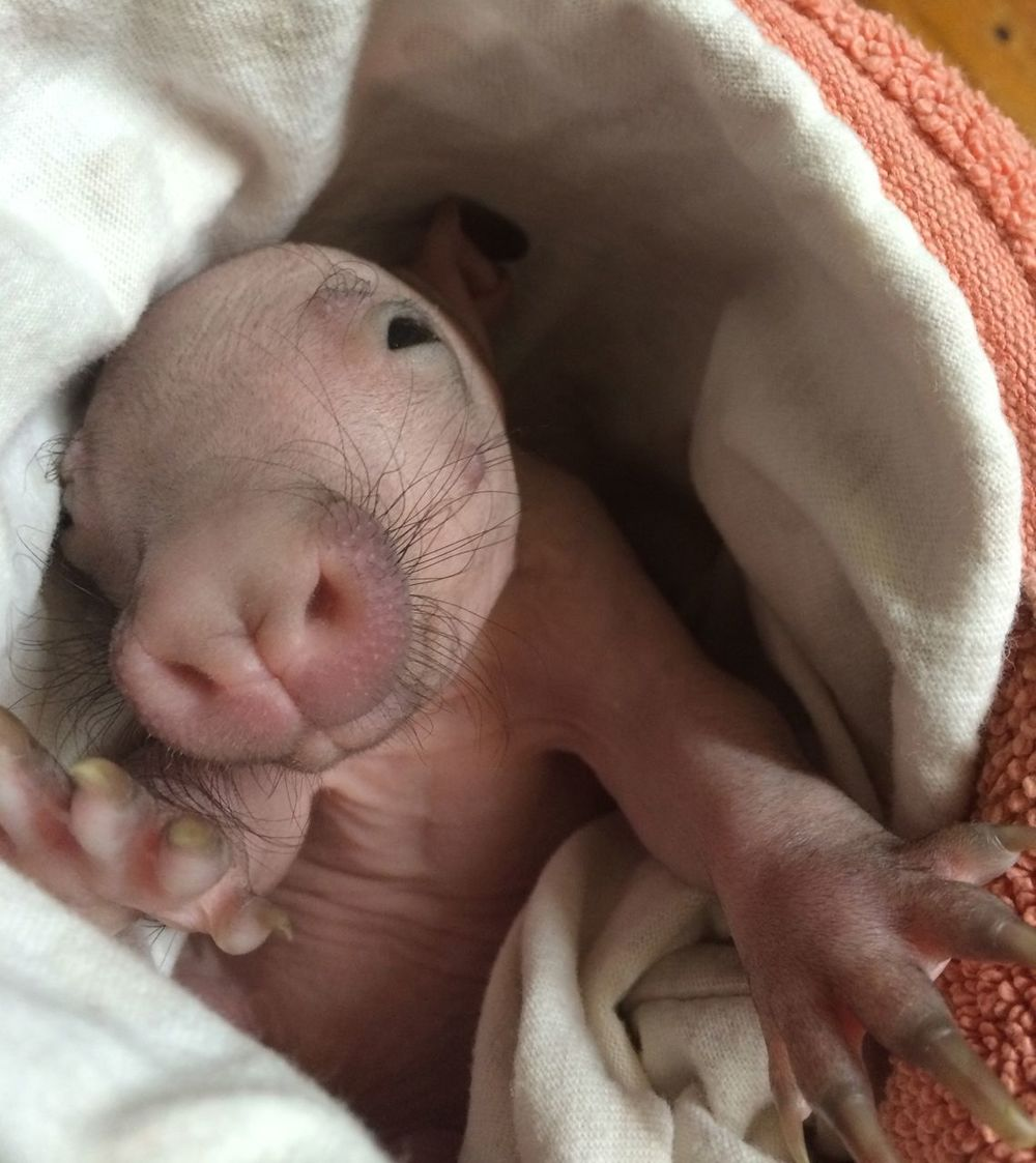 Southern Hairy-nosed Wombat joey