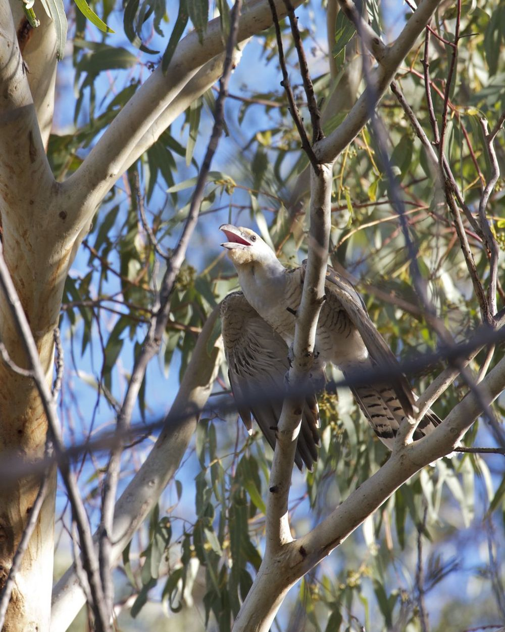 Channel-bill Cuckoo juvenile, Alice Springs, NT
