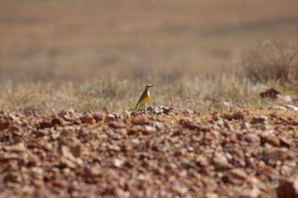 Gibberbird perched high atop a 'rise' in the gibber plain, Coober Pedy, SA