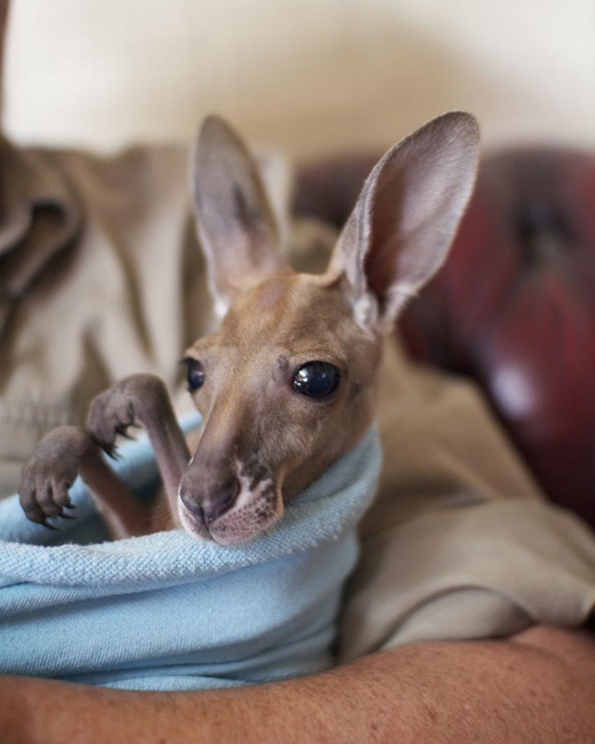Red Kangaroo joey