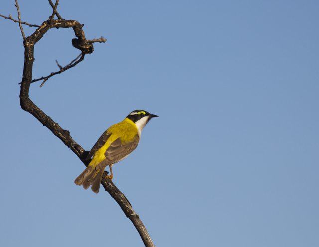 Golden-backed Honeyeater, Alice Springs, NT